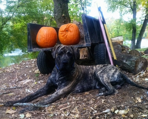 Side view - A large breed, drop-eared, brindle Presa Dane dog is laying under a tree looking forward. Behind it is a wagon with a couple of pumpkins on it. One pumpkin has a carved spider on it and the other is not carved.