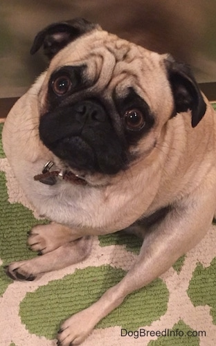 Hector the Pug sitting on a carpet