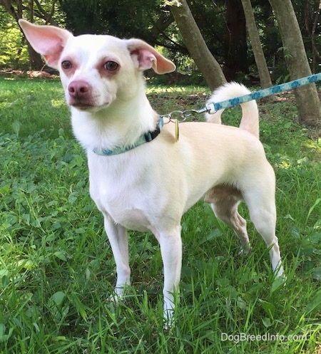 A tan with white Rat Terrier/American Foxhound is standing in grass and it is looking forward. One if its ears is up and the other ear is off to the side.
