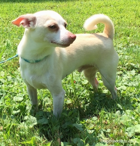 Front side view - A tan with white Rat Terrier/American Foxhound is standing in grass and it is looking to the right. Its tail is up and curled over its back.