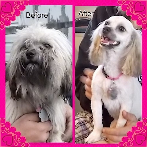 Left Photo - Close up - A longhaired, thick coated white with black long-haired Shih-Poo dog being held in the air by a person. Right Profile - Close Up - A shaved to the skin white with tan groomed Shih-Poo is sitting in a persons lap, its mouth is open, its tongue is out, it has longer hair left on its ears only and it is looking to the left.