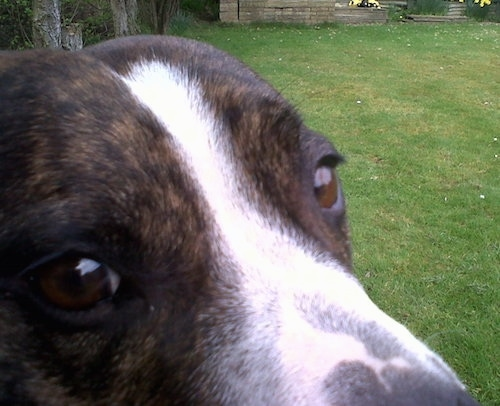 Close up - The bridge of a brown and white Staffordshire Bull Terriers muzzle. The dog is sitting in a yard. It has brown eyes.