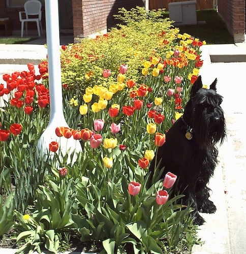 Front view - A black Standard Schnauzer dog sitting on a concrete surface and behind it is a line of colorful tulip flowers.