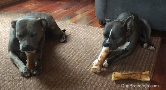 A blue-nose brindle Pit Bull Terrier and a black with white American Bully are laying on a rug chewing on dog bones.