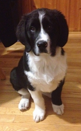 Close up front view - A black with white Swiss Newfie puppy is sitting on a hardwood floor and it is looking forward. It has black on its body and head with white down its stop, on its chest, legs and paws.