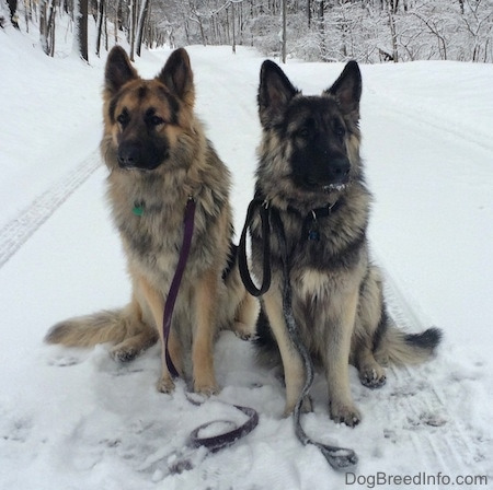 Two dogs sitting in the snow wearing leashes which no one is holding