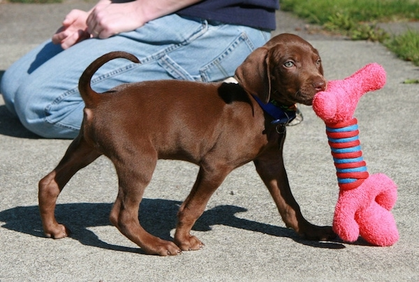 The right side of a small brown Vizmaraner puppy that is walking across a sidewalk and it has a pink plush toy in its mouth. There is a person on there knees behind it. The dog's tail is being held up high in the air. It has ears that hang down to the sides.