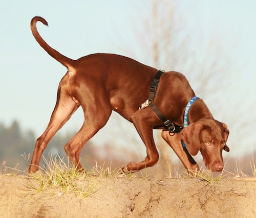 The right side of a shiny-coated, red Vizmaraner dog sniffing its way across a dirt terrain. The dog has yellow eyes, a brown nose and a long tail that is curled up at the tip. It is wearing a black harness.