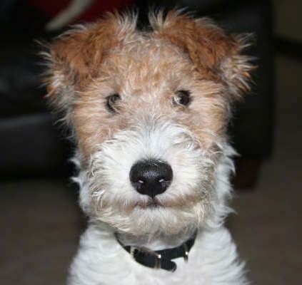 Close Up head shot - a wiry-looking tan and white Wire Fox Terrier puppy