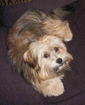Top down view of a thick coated, brown with black and white Yorkie-Apso that is laying on a purple couch. The long hair on its snout makes the dog look like it has a square muzzle. It has fold over drop ears, wide round eyes and a long tail with lots of thick fur on it.