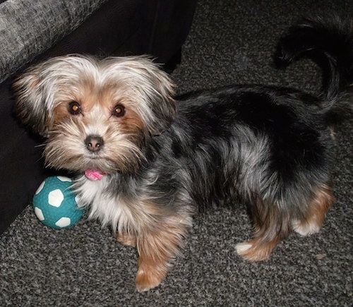 The left side of a long coated, black with brown Yorkie Apso that is standing across a carpeted floor. There is a green and white ball in front of it.