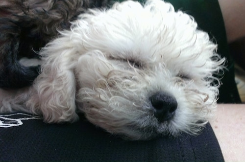 Close up head shot - A thick, wavy coated, white Zuchon dog sleeping in a person's lap.