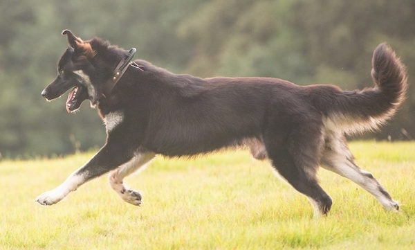 Side view action shot - A black and tan shepherd dog running across grass.