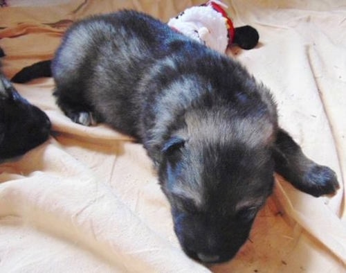 Winter the American Alsatian puppy sleeping on a tan sheet next to his littermates and a plush stuffed Santa toy behind him