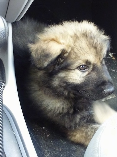 American Alsatian puppy laying down in a car
