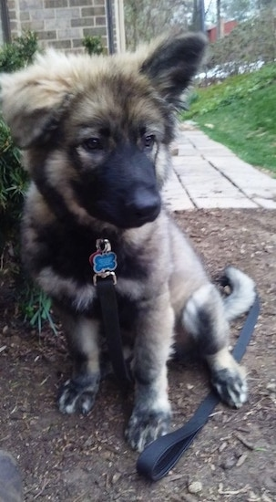 American Alsatian puppy sitting in the dirt with his black leash laying on the ground under him