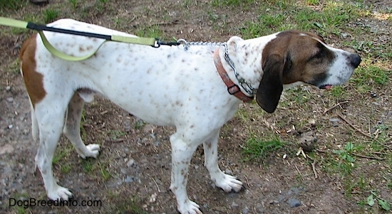Side view - Buck the white, black and brown ticked American English Coonhound standing outside in the patchy grass and dirt looking to the right