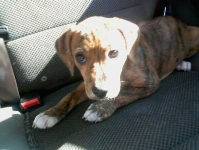 A brown brindle Beagle Pit looking dog laying down in the back seat of a car. It has white on the tips of its paws.
