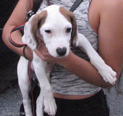 A white with brown Beagle Pit puppy is being held in the arms of a lady in a gray tank top. The puppy is looking forward.