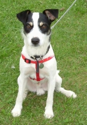 A white, black and tan tricolor Border Jack is wearing a red harness, it is sitting on grass and it is looking forward.