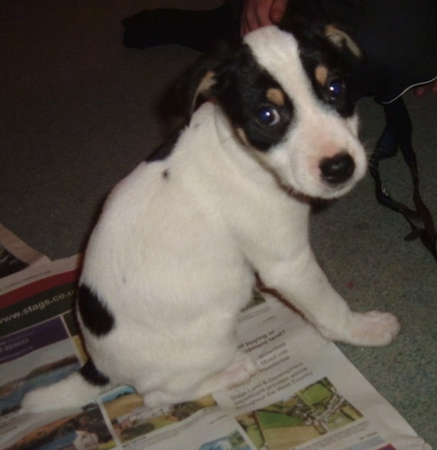 The back right side of a white, black and tan tricolor Border jack puppy that is sitting on newspaper and it is looking forward.