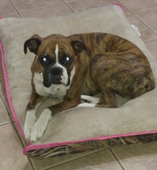 Side view - a brown brindle with black and white Boxer dog laying down on a dog bed pillow on top of a tan tiled floor.