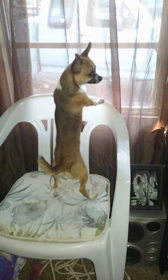 back-side view - A toy-sized Chiweenie dog on top of a plastic white lawn chair inside of a house in front of a window with its head turned to the right.