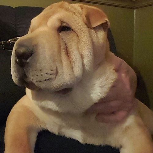 A wrinkly, extra skinned, tan Shar-Pei puppy is laying across a persons lap, the person is touching the left side of the dog and the dog is looking to the left. It has small ears that fold over to the front in a v-shape.