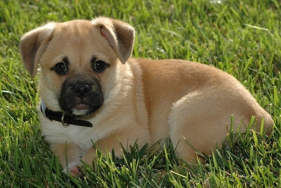 Corgi Pug Dog Breed Information and Pictures
