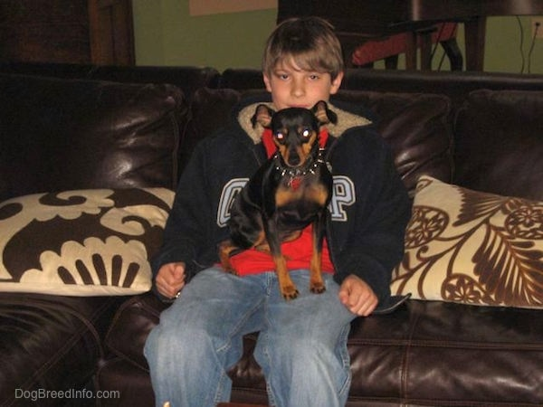 A black and tan Miniature Pinscher dog sitting in the lap of a boy that is sitting on a brown leather couch.