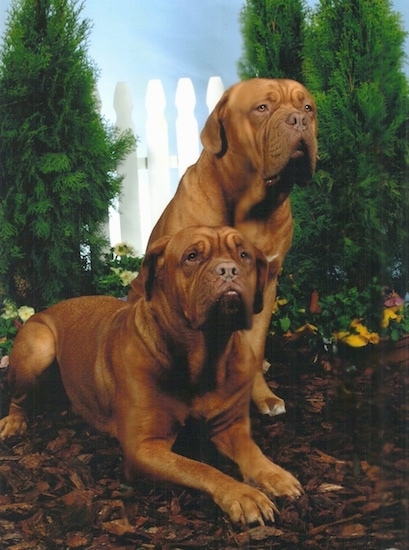 Two Dogue De Bordeaux are laying and sitting on mulch in front of a sky backdrop with evergreen arborvitae trees behind them