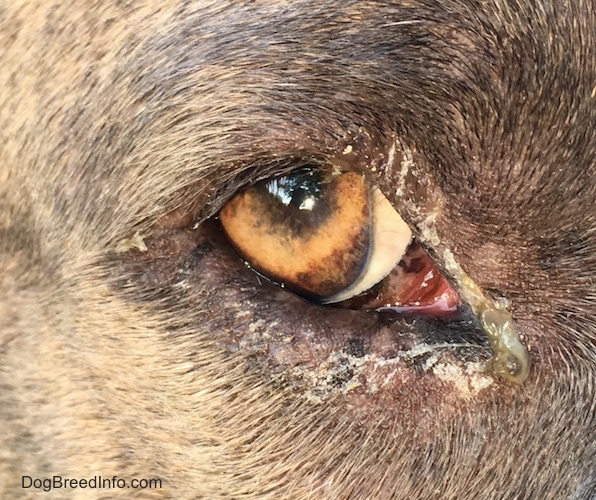 Close-up of a dog's eye with green puss along with crusty areas where it dried up coming from the corner.