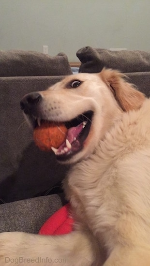 Golden Retriever laying on a red blanket behind a couch with a tennis ball in her mouth making a funny face with wild eyes