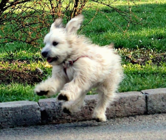 Action shot - A tan Havanese puppy is landing from a jump with all four paws off of the ground in a road with grass behind it.