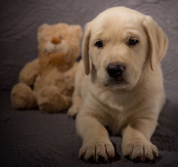 A young yellow puppy laying on a gray backdrop next to a tan teddy bear plush toy.