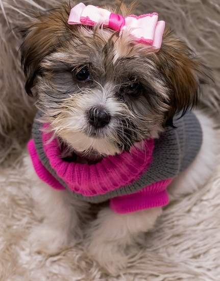 A tan with white and black Lhatese puppy is sitting on a fuzzy rug. It is wearing a pink ribbon on the top of its head and a pink and grey sweater.