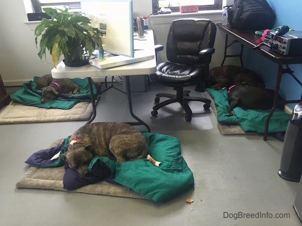 A grey with white Pit Bull Terrier, A blue-nose brindle Pit Bull Terrier, A black with white American Bully and A brown brindle Boxer are sleeping inside of the Dog Breed Info Center(R) office on green comforter blankets