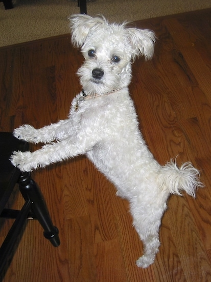 A small white Mauzer dog is standing on a hardwood floor jumped up against a wooden black chair