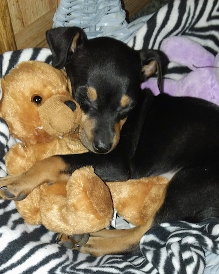 A small black and tan dog curled up on a black and white zebra blanket snuggled up against a brown teddy bear with her eyes closed.