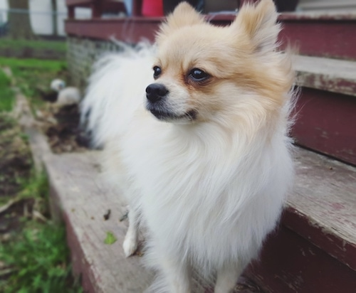 Close up Front view - A white with tan Pomchi is standing outside on a wooden step and it is looking to the left.