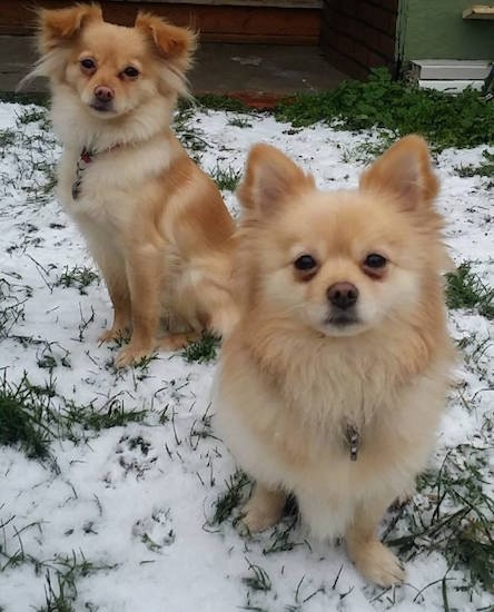 Two red and cream Pomchis are sitting on a grass surface that has snow over it. They are looking up and forward.