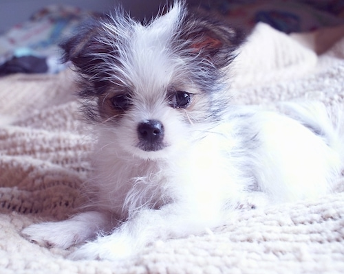 Front side view - A little fuzzy, white with a tan and black mask Shih Tzu/Bichon Frise/Pomeranian mix breed puppy is laying on a human's bed