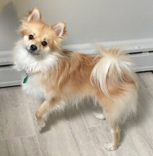 Side view - A tan with white Pomimo dog is standing across a tan tiled floor in a house and it is looking forward. Its left paw is in the air and its long fringe tail is curled over its back.