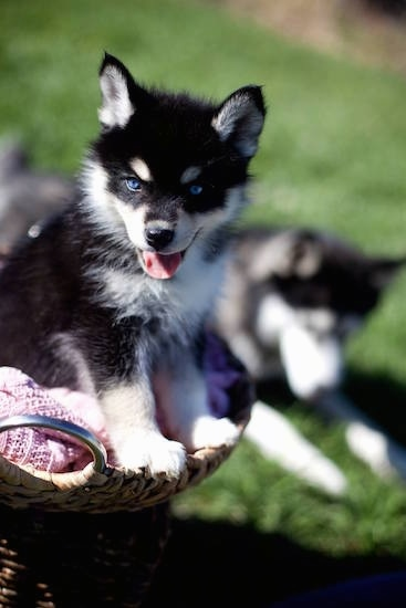 Close up front side view - A happy, perk-eared, bright blue-eyed, black with white Pomsky puppy is sitting in a wicker basket. In the background is a Husky laying down looking at the grass.