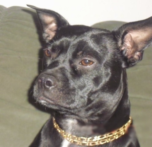 Close up head shot of a perk eared shiny black dog with brown eyes with its head turned to the left. It has a gold chain collar on.