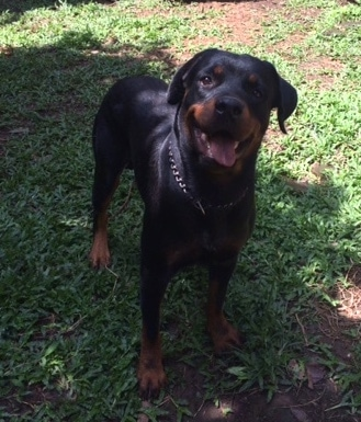 Front view - A black with brown Rottweiler is standing in grass. Its mouth is open and it looks like it is smiling.