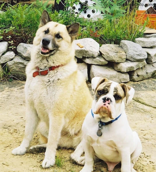 A fluffy white large breed, shepherd mixed breed dog sitting in sand next to Spike the Bulldog, a white with brown brindle bulldog. There is a rock wall and a camper behind them.