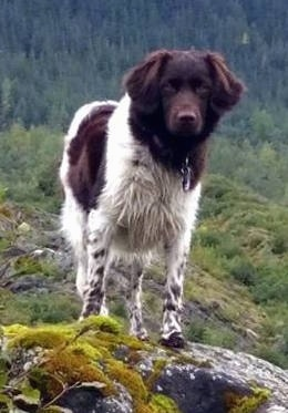 A brown and white Stabyhoun dog is standing on a mossy rock and it is looking forward.