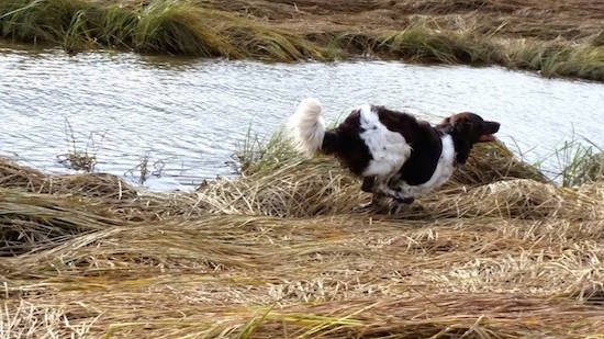 Action shot - A brown and white Stabyhoun is running across a flattened grass area near a body of water.