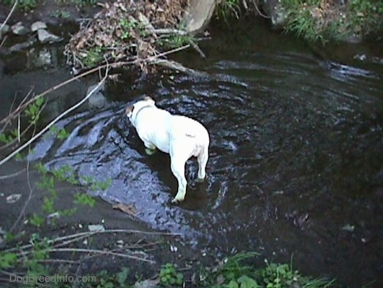 The back of Spike the Bulldog standing in a stream. He is sticking his nose in the water.